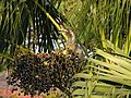 Female Indian Grey Hornbill Eating Palm Fruits 03.jpg