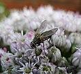Female Solieria species Tachinidae (36245676101).jpg