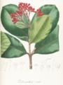 Ferdinandusa elliptica Pohl107-original.png