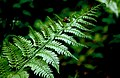 Fern on hiking trail of Enkaizan hills.jpg
