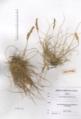 Festuca-humifusa-herbaria.png