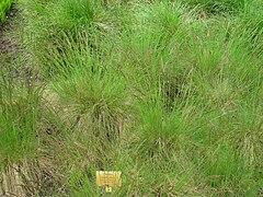 Festuca amethystina - Berlin Botanical Garden - IMG 8537.JPG