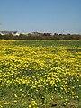 Field of Corn Marigolds near Penhale Jakes Farm - geograph.org.uk - 985653.jpg