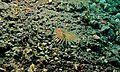 Fire Worm (Chloeia flava) - Makawide, Lembeh Strait, Sulawesi, Indonesia (3).jpg