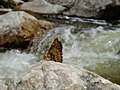 Fish Creek Falls Butterfly No. 2 (8691099783).jpg