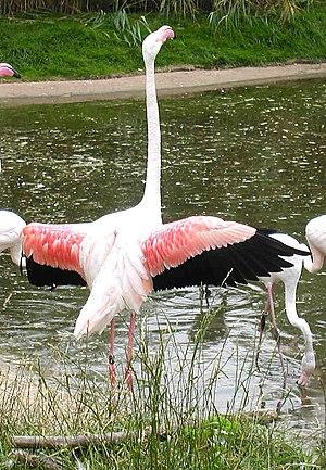 Wildlife of Ivory Coast - Greater flamingo