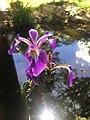 Fleur de l'iris versicolore.jpg