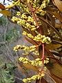 Flickr - João de Deus Medeiros - Phoradendron caripense (1).jpg