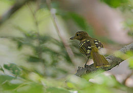 Flickr - Rainbirder - Eastern Nicator (Nicator gularis).jpg