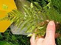 Flickr - brewbooks - Hen and chicken fern (1).jpg