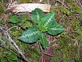 Flickr - brewbooks - Rattlesnake Plantain.jpg