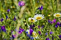 Flora Silvestre Del Campo (68473993).jpeg