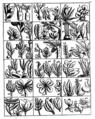 Flora of Madagascar by Étienne de Flacourt (cropped).png