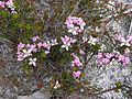 Flora of the Labillardiere Peninsula (11), Bruny Island.jpg