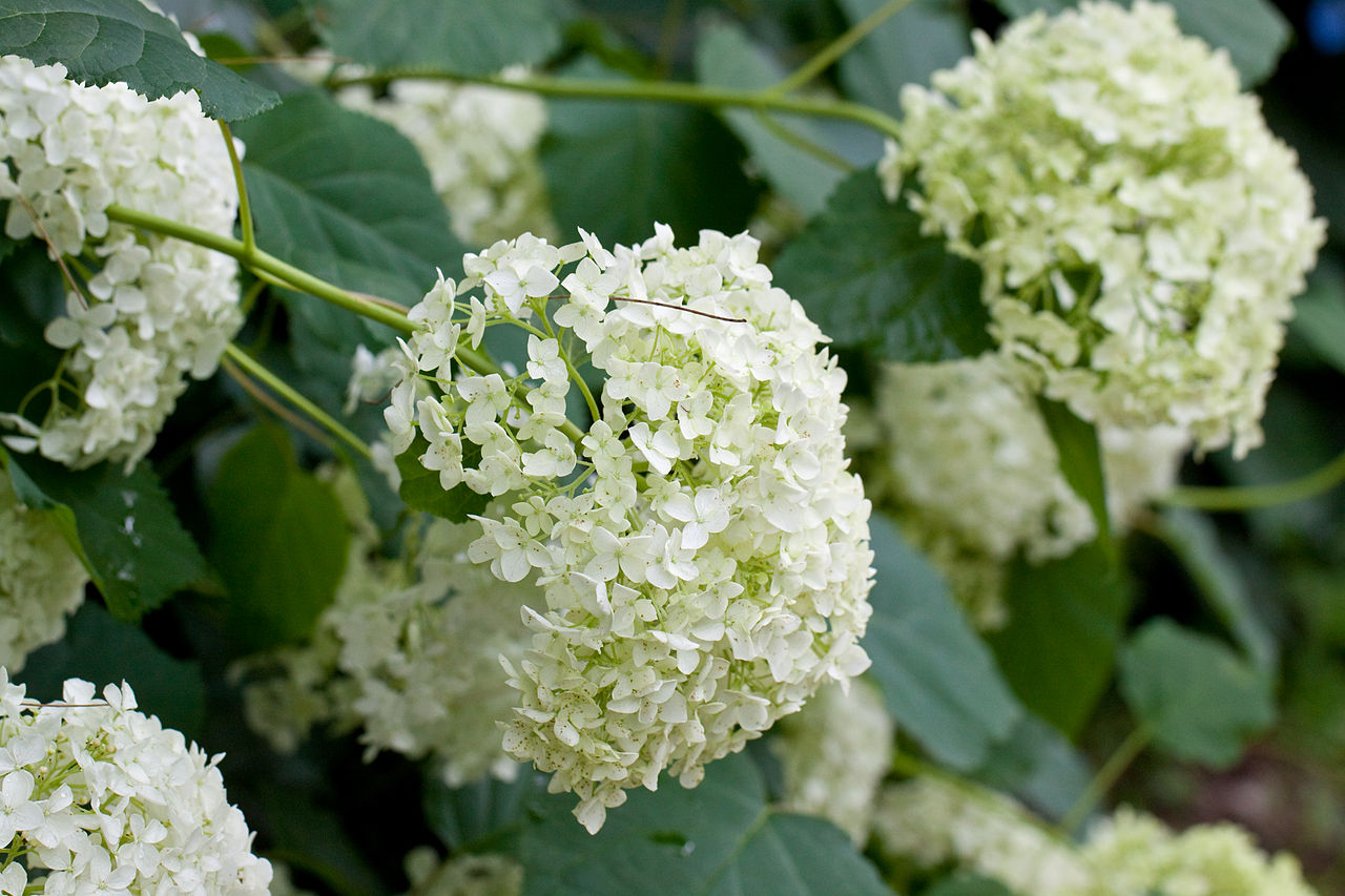 "File Flower Hydrangea ""Annabelle"" Flickr nekonomania 2"