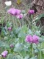 Flower and fruit of Opium.jpg