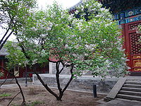 Flower in fayuan temple.JPG