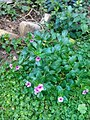 Flowers of Baghdad 35.jpg