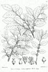 Flueggea leucopyrus Bra54