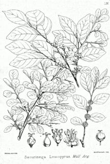 <i>Flueggea</i> genus of plants
