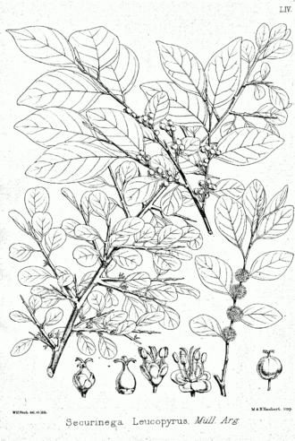 Flueggea - Flueggea leucopyrus