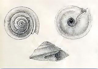 <i>Fluxinella trochiformis</i> species of mollusc