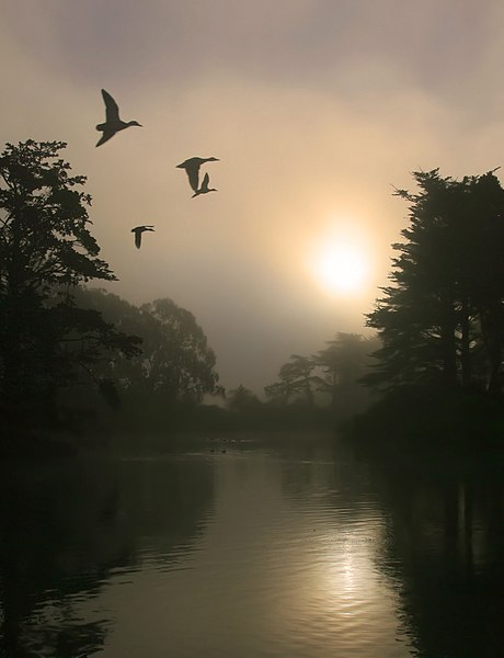 File:Flying Mallards and morning fog.jpg