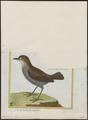 Formicarius cayanensis - 1700-1880 - Print - Iconographia Zoologica - Special Collections University of Amsterdam - UBA01 IZ16400313.tif