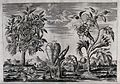 Four Egyptian plants in a landscape, including purging cassi Wellcome V0043171.jpg