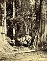 Four loggers posed next to downed tree, Washington, circa 1889-1891 (BOYD+BRAAS 118).jpg