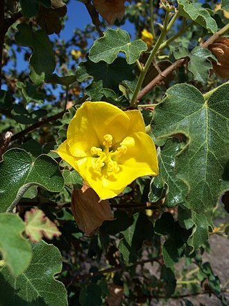 Fremontodendron californicum - Foliage and a flower of Fremontodendron californicum.