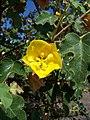 Fremontodendron californicum3.jpg