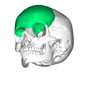 Frontal bone inferior.png