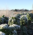 Frosted Veg - geograph.org.uk - 296101.jpg