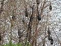 Fruit bats-3-bangalore-India.jpg