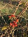 Fruits Églantinier Chemin Fasses - Saint-Cyr-sur-Menthon (FR01) - 2020-10-31 - 6.jpg