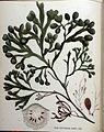 Fucus platycarpus — Flora Batava — Volume v16.jpg