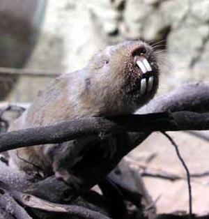 Ansell's mole-rat - Image: Fukomys anselli