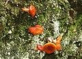 Fungus, Crawfordsburn Glen (13) - geograph.org.uk - 913243.jpg