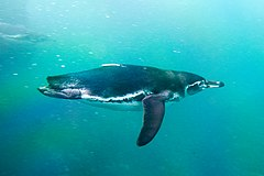 Galapagos Penguin Swimming.jpg