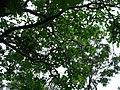 Gardenia brighamii (4756043721).jpg