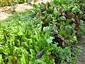 Gardenology.org-IMG 0598 bbg09.jpg