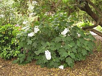 Hydrangea quercifolia - Hydrangea quercifolia in a woodland garden.