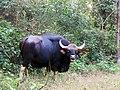 Gaur bull KanhaTR AJTJ IMG 0748.jpg