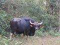 Gaur in Kanha TR AJTJ IMG 0748.jpg