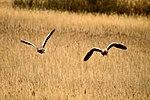 Geese - RSPB Minsmere (17039726131).jpg