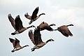 Geese Leaving (Unsplash).jpg