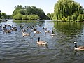Geese on the Boating Lake - geograph.org.uk - 1458041.jpg