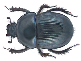 Geotrupes stercorarius (Linné, 1758) Male (19372749035).png