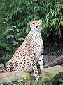 Gepard - panoramio.jpg